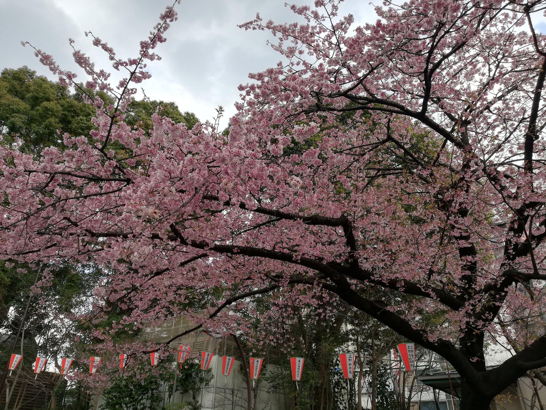 上野恩賜公園の早咲きの桜